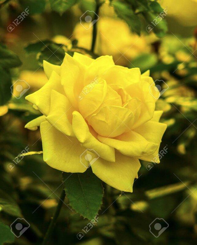 74294372-yellow-roses-beautiful-yellow-rose-flower-in-a-garden-rose-flower.jpg