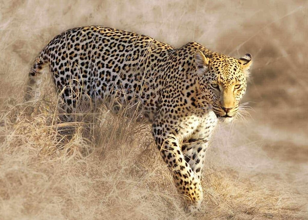 african-leopard-facts.jpg