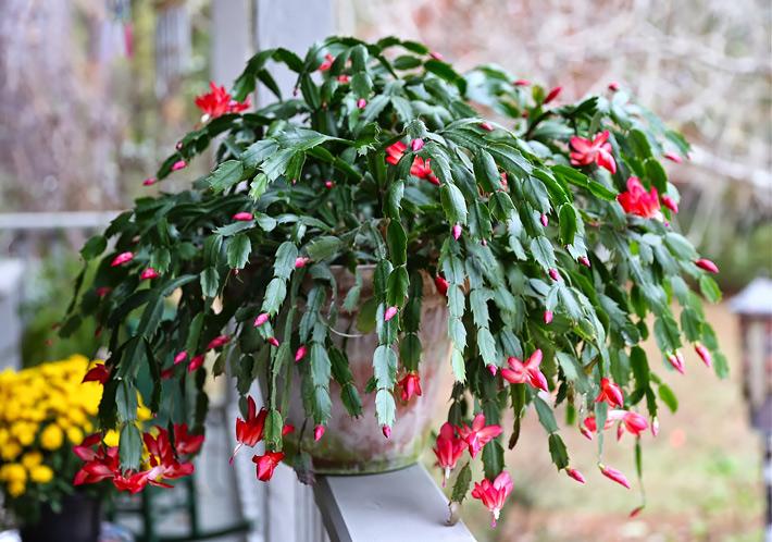 All-About-Schlumbergera-–-Christmas-Cactus-59.jpg