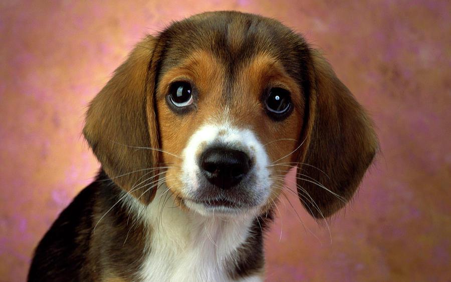 animal-puppy-dogs-dog-beagle-face-closeup-cute-joseph-on.jpg