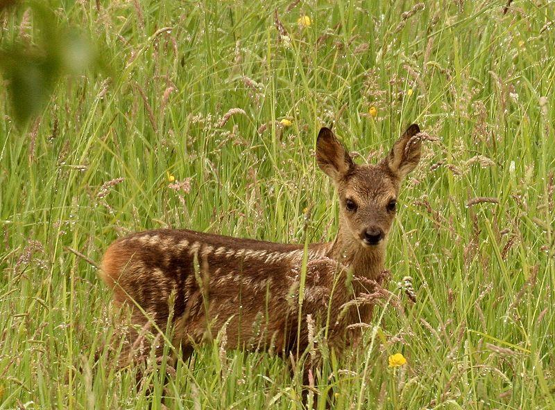 baby-roe-deer-5.jpeg