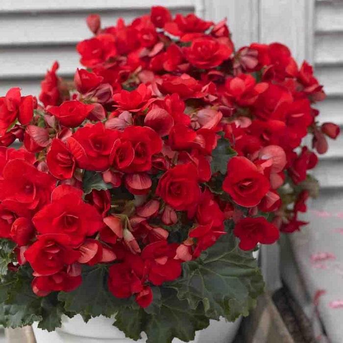 Begonia-Vermillion-Red-14_1400x.jpg