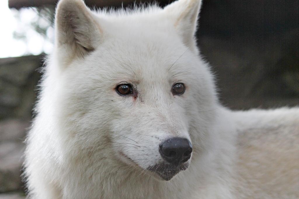 бела вучица.jpg