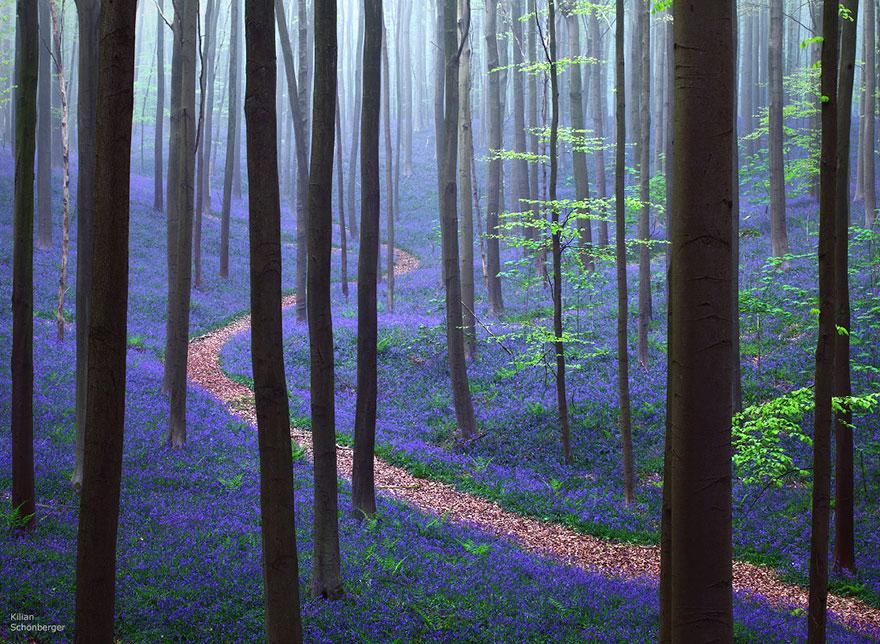 bluebells-blooming-hallerbos-forest-belgium-1.jpg