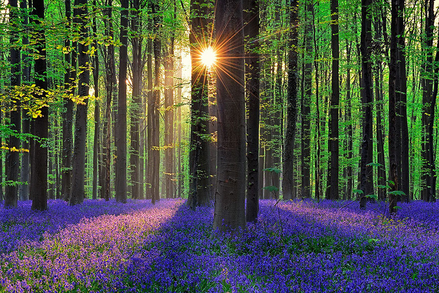 bluebells-blooming-hallerbos-forest-belgium-7.jpg