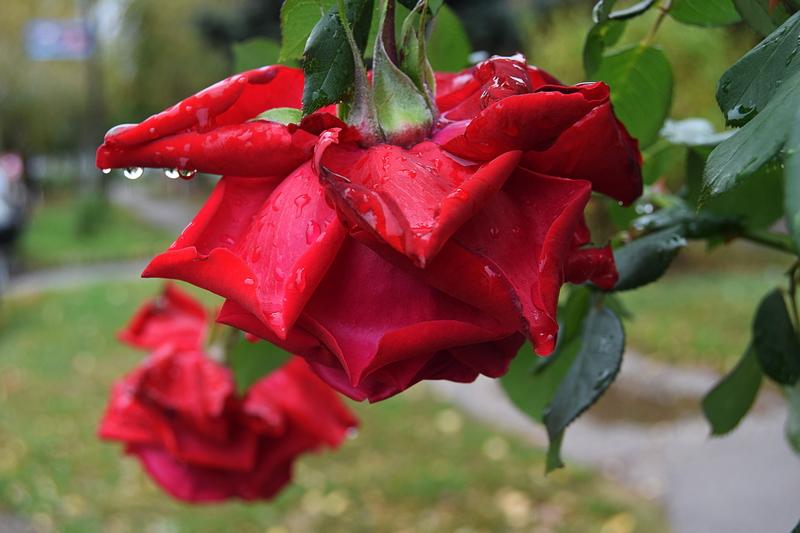 црвеба ружа скапима.jpg