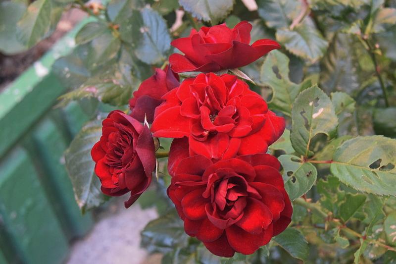 црвене руже.jpg