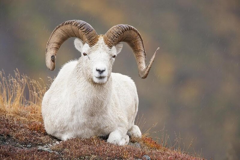dall-sheep-ram-tim-grams.jpg