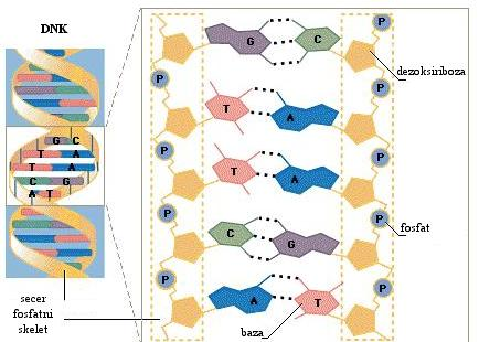 DNK2.jpeg.jpg