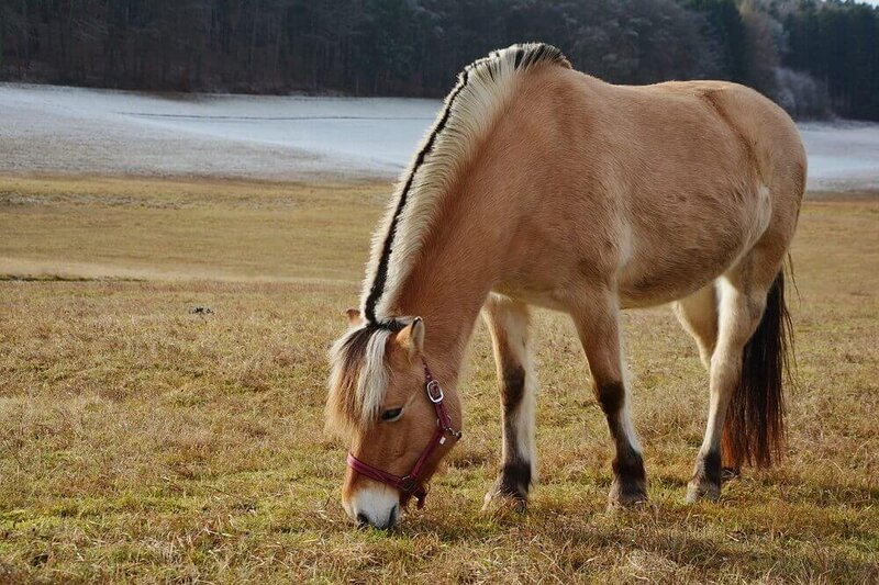 Fjord-Horse-Pixabay.jpg