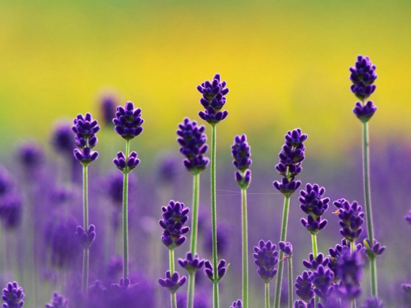 flowers-images-beautiful-lavender-hd-wallpaper-and-background-photos-800x600.jpg