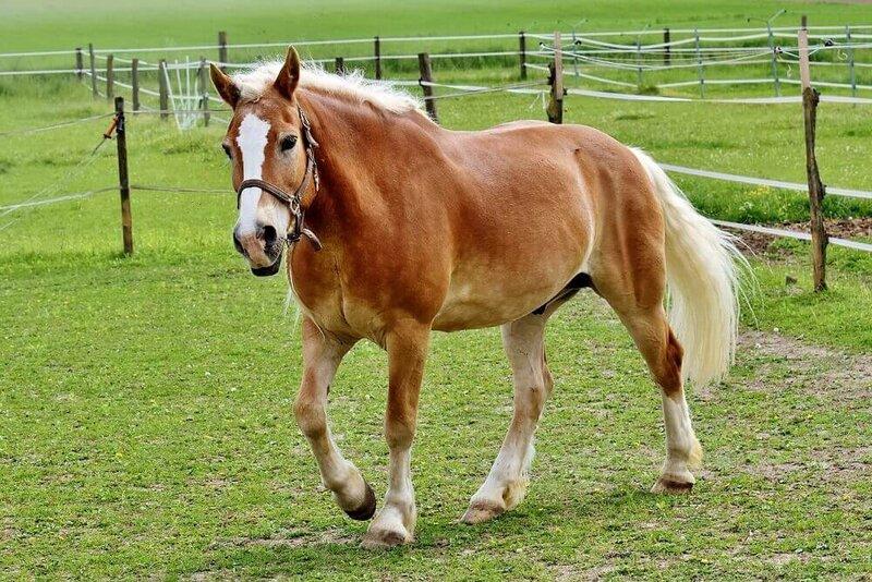 Haflinger-Horse-Pixabay.jpg
