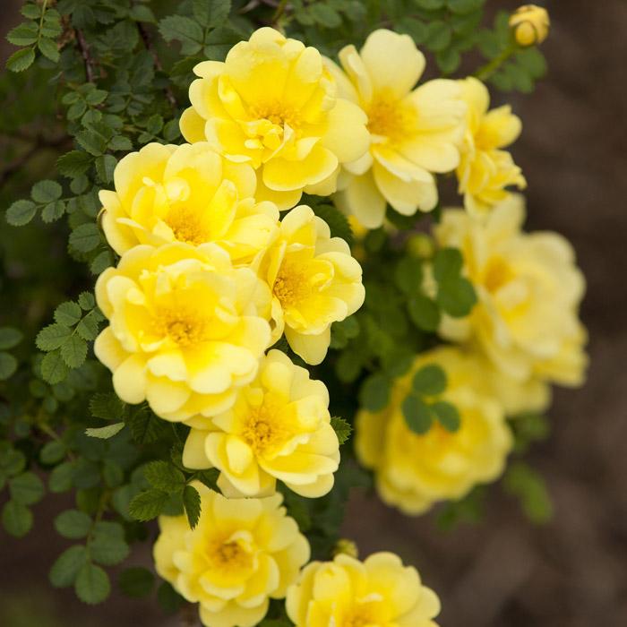 Hybrid-Spinosissima-rose-Rosa-_Harison_s-Yellow_-02.jpg