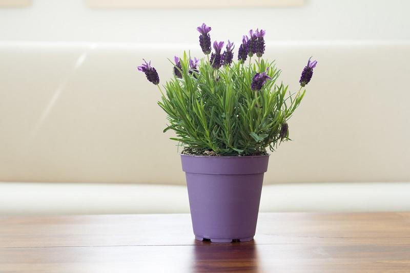 indoor-lavender.jpg