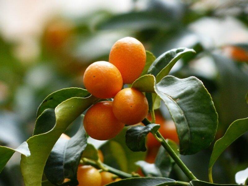 kumquats-357894_960_720-810x608.jpg