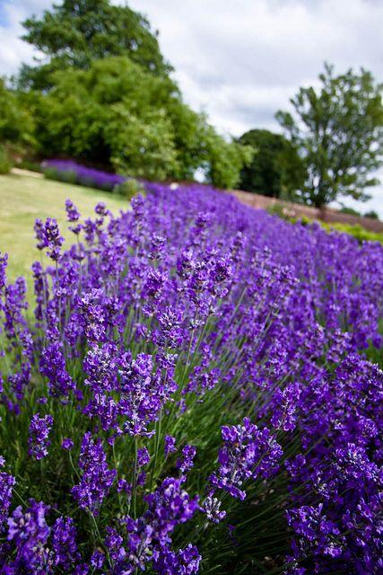 Lavender Border.jpeg