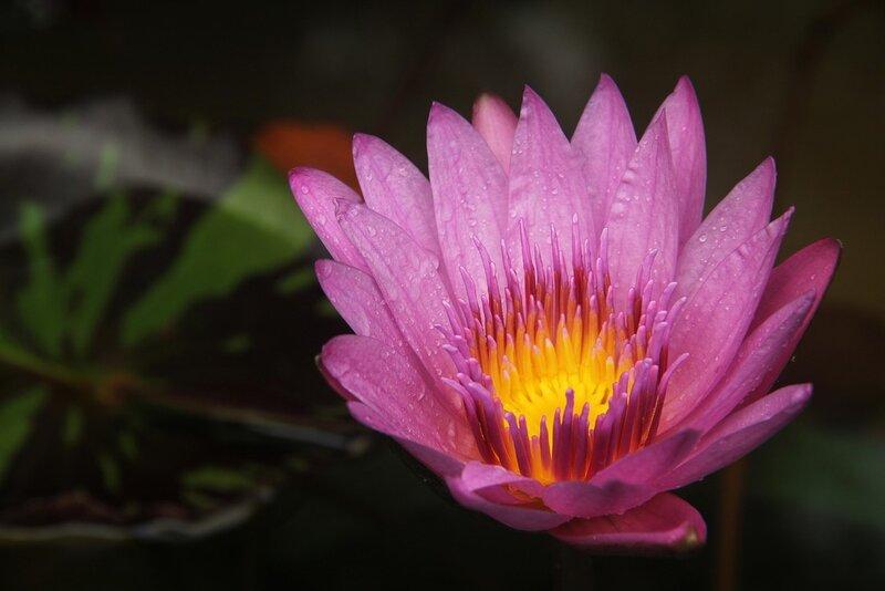 lotus-398444-1280_orig.jpg