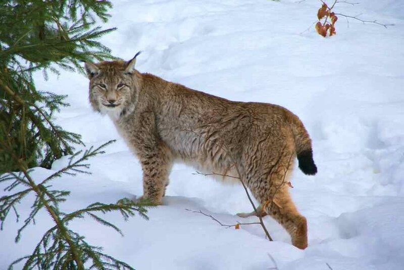 Lynx_Nationalpark_Bayerischer_Wald_01 a.jpg