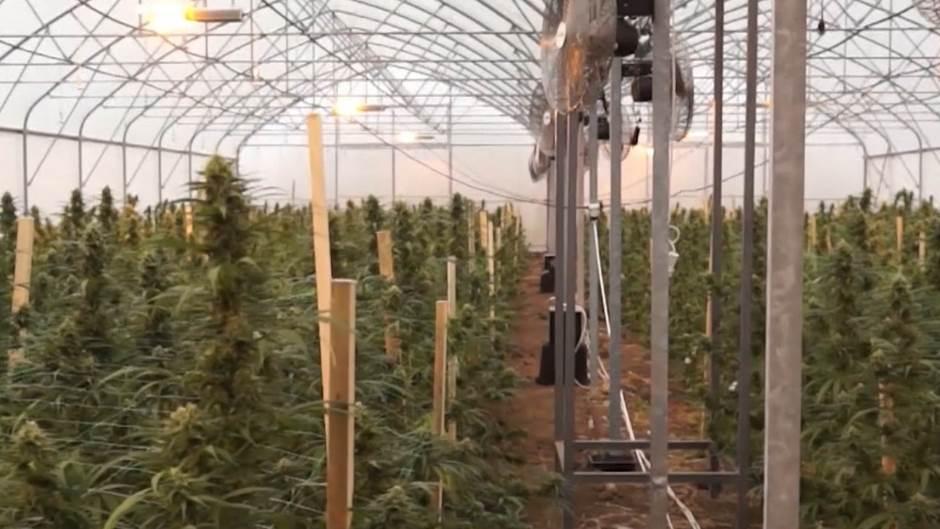 marihuana-292604[1].jpeg