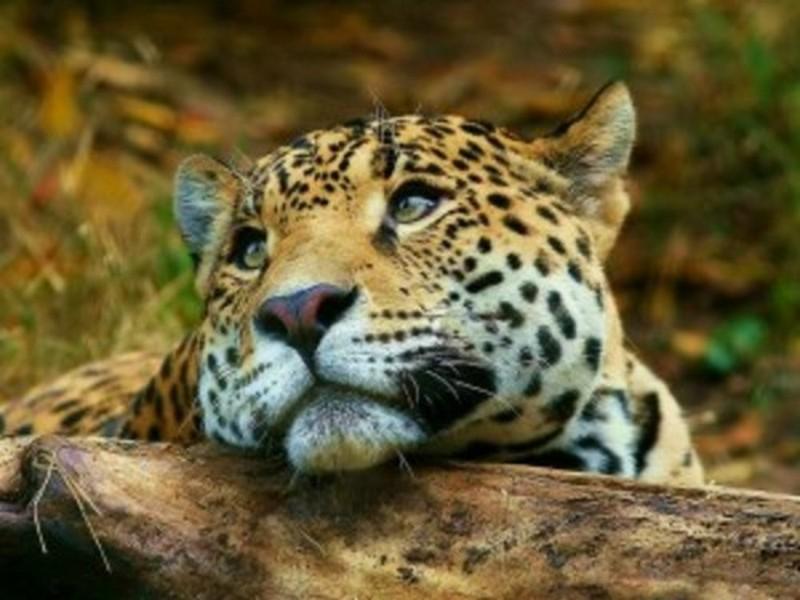 medium_leopard-animal-zivotinje-pozadine-300x225.jpg