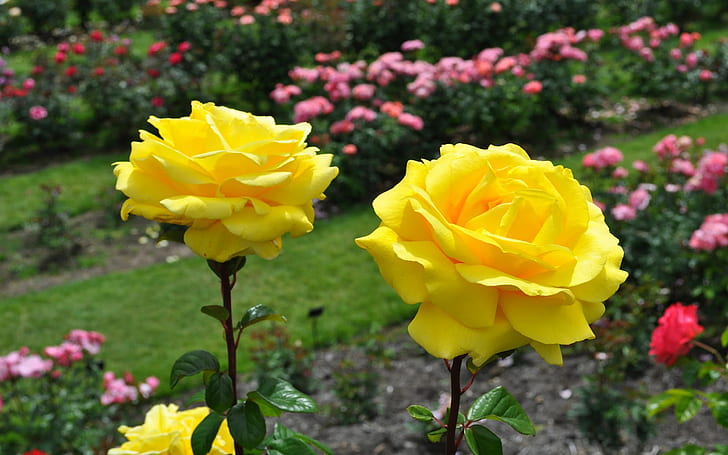 most-beautiful-yellow-roses-wallpaper-preview.jpg
