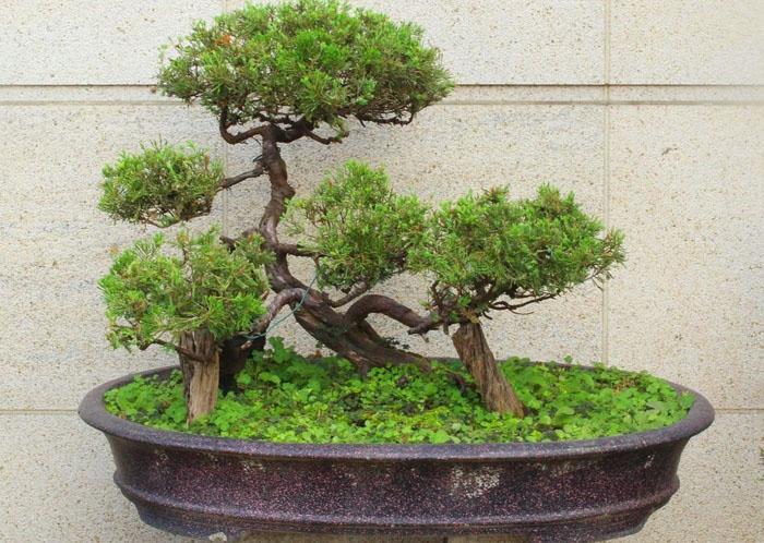 N1-bonsai-drvo-bonsai-drvce-vladimir-nesic-kako-uzgajati-bonsai.jpg