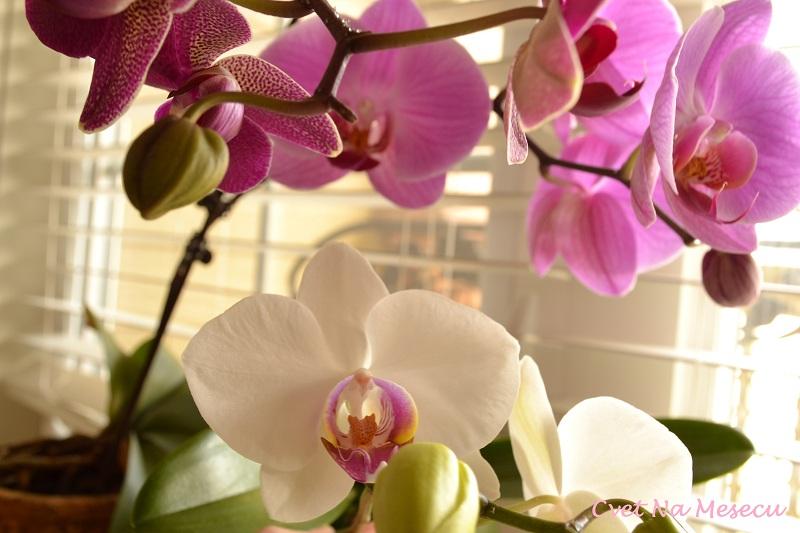 orhideje+001+-+Copy.JPG