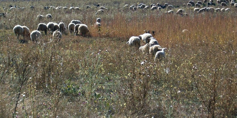 ovce moshorin.jpg