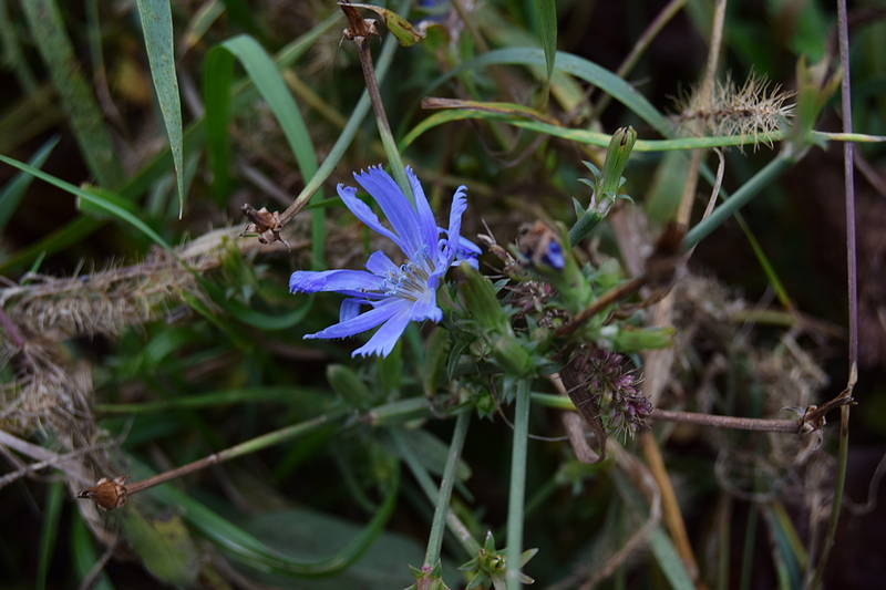 плави цвет.jpg