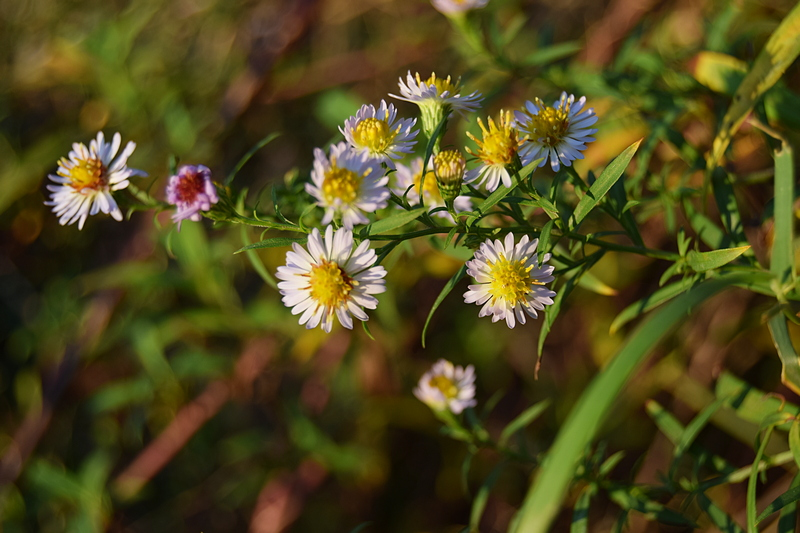 пољако цвеће 2.jpg