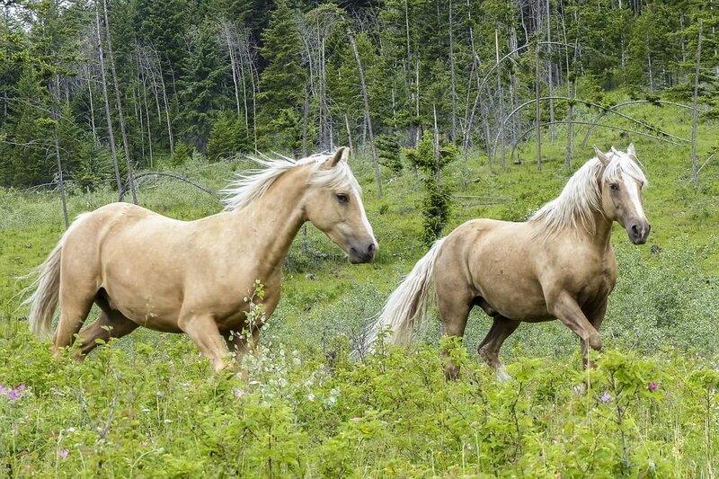 quarter-horses-3687379_1280-1.jpg