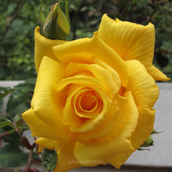 rosa-royal-gold-u-uta-ruu-a-puzavica-climber-03-014-standard-1.png