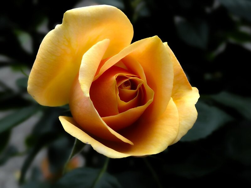 rose-141314_960_720.jpg