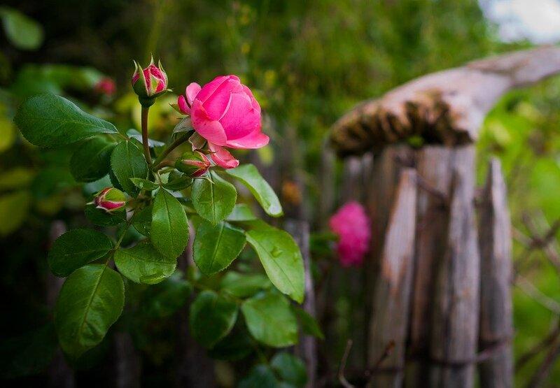 rose-2110831_960_720.jpg