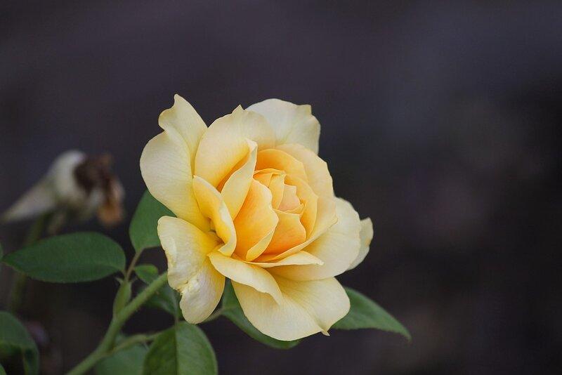 rose-3593112_960_720.jpg