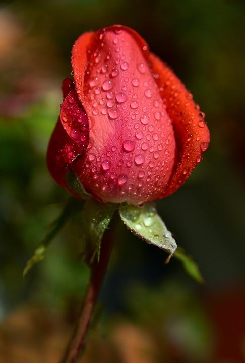 rose-3734229_960_720.jpg