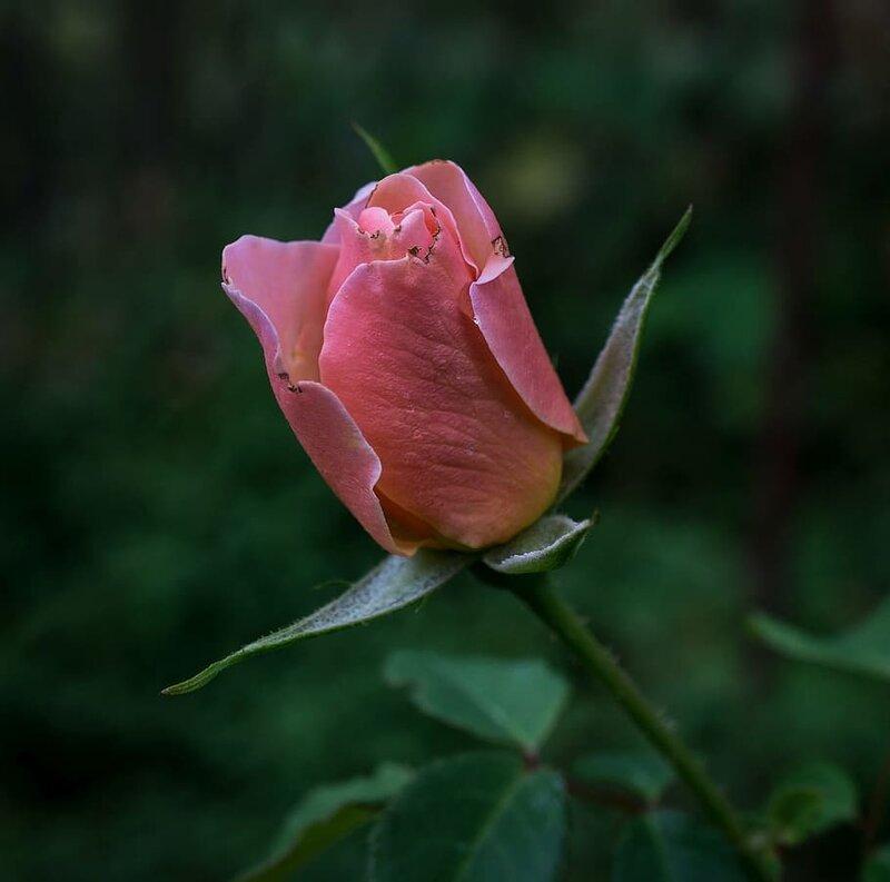 rose-rosebud-flower-bud.jpg
