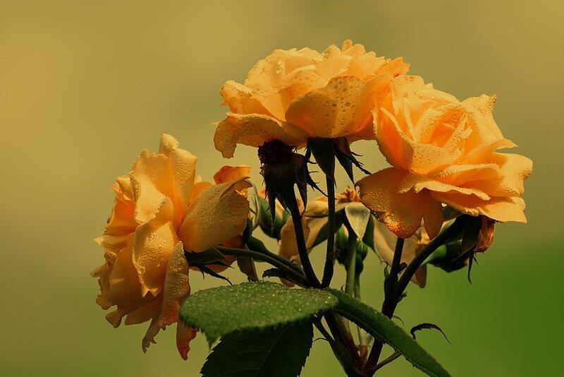 roses-3458693_960_720.jpg