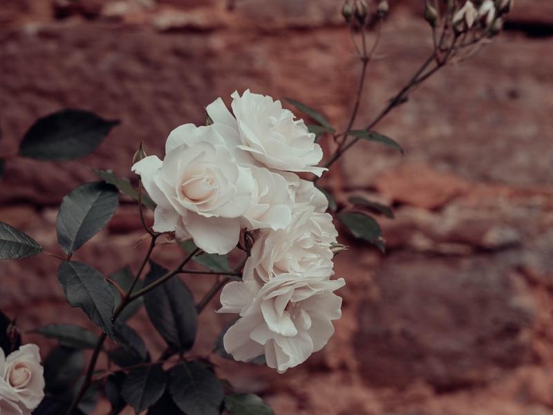 roses_flowers_white_143819_800x600.jpg