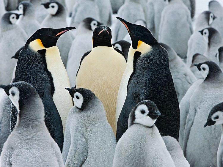 rsz_emperor-penguins-colony-nicklen_65143_990x742.jpg