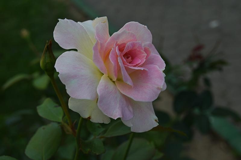 ружа 1.jpg