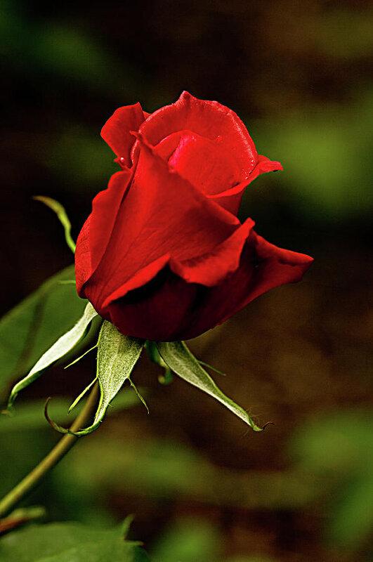 single-red-rose-bud-jacqi-elmslie.jpg