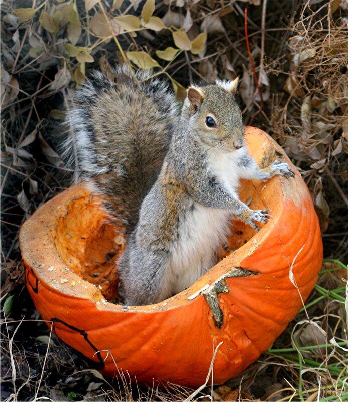 squirrel-in-a-pumpkin (1).jpg