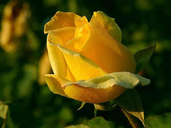 yellow-rose-macro-close-up-725x544.jpg