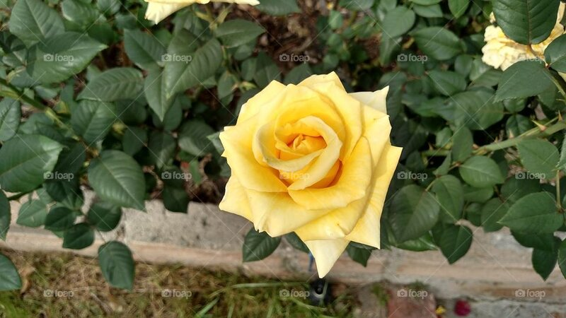 yellow-rose-rose-from-my-garden-to-brighten-your-day.jpg