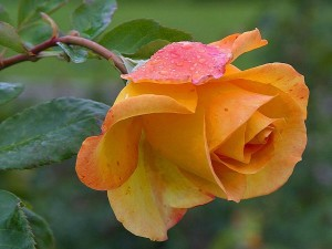yellow-roses-dew-petals-300x225.jpg