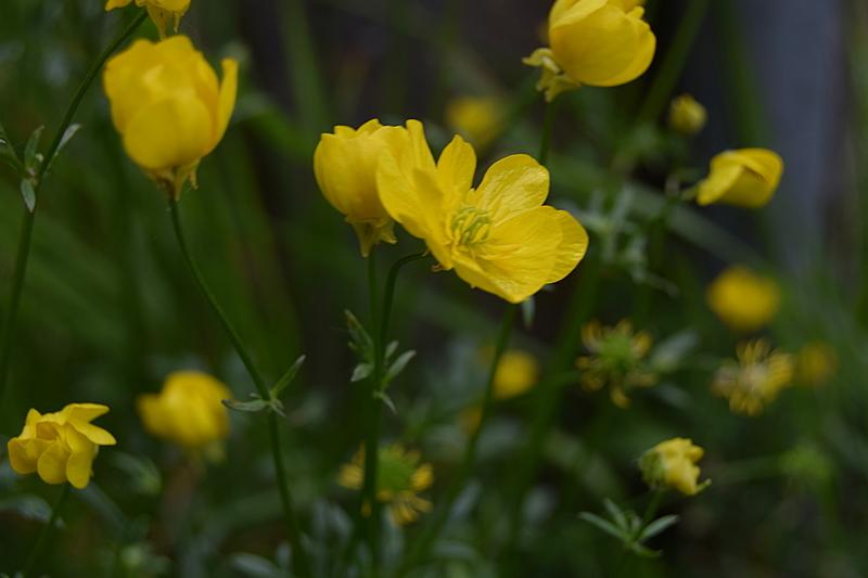 жуто цвеће.jpg